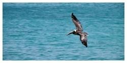 Кафяв пеликан