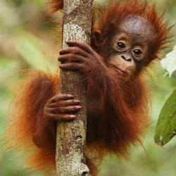 Приключенията на Ринти - малкият орангутан, спасен от горски пожар в Бурнео